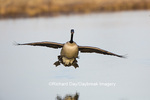 00748-05701 Canada Goose (Branta canadensis) flying in for landing, Marion Co., IL