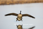00748-05702 Canada Goose (Branta canadensis) flying in for landing, Marion Co., IL