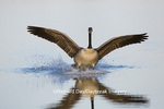 00748-05705 Canada Goose (Branta canadensis) flying in for landing, Marion Co., IL