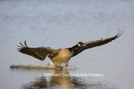 00748-05706 Canada Goose (Branta canadensis) flying in for landing, Marion Co., IL
