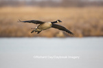 00748-05707 Canada Goose (Branta canadensis) flying in for landing, Marion Co., IL
