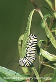 03536-040.20 Monarch (Danaus plexippus) caterpillar on Swamp Milkweed (Asclepias incarnata) Marion Co.  IL