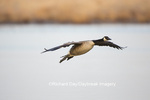 00748-05708 Canada Goose (Branta canadensis) flying in for landing, Marion Co., IL