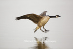 00748-05710 Canada Goose (Branta canadensis) flying in for landing, Marion Co., IL
