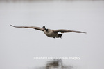 00748-05712 Canada Goose (Branta canadensis) flying in for landing, Marion Co., IL