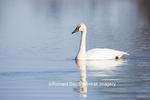 00758-00916 Trumpeter Swan (Cygnus buccinator) in wetland, Marion Co., IL