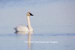 00758-00918 Trumpeter Swan (Cygnus buccinator) in wetland, Marion Co., IL