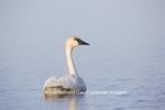 00758-00919 Trumpeter Swan (Cygnus buccinator) in wetland, Marion Co., IL