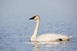 00758-00920 Trumpeter Swan (Cygnus buccinator) in wetland, Marion Co., IL