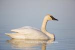 00758-01002 Trumpeter Swan (Cygnus buccinator) in wetland, Marion Co., IL