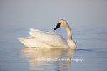 00758-01003 Trumpeter Swan (Cygnus buccinator) in wetland, Marion Co., IL