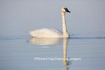 00758-01004 Trumpeter Swan (Cygnus buccinator) in wetland, Marion Co., IL