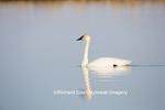 00758-01005 Trumpeter Swan (Cygnus buccinator) in wetland, Marion Co., IL