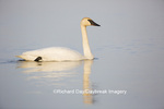 00758-01006 Trumpeter Swan (Cygnus buccinator) in wetland, Marion Co., IL