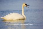00758-01008 Trumpeter Swan (Cygnus buccinator) in wetland, Marion Co., IL