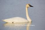 00758-01010 Trumpeter Swan (Cygnus buccinator) in wetland, Marion Co., IL