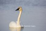 00758-01011 Trumpeter Swan (Cygnus buccinator) in wetland, Marion Co., IL