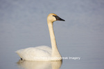 00758-01013 Trumpeter Swan (Cygnus buccinator) in wetland, Marion Co., IL