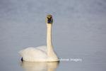 00758-01014 Trumpeter Swan (Cygnus buccinator) in wetland, Marion Co., IL