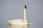 00758-01012 Trumpeter Swan (Cygnus buccinator) in wetland, Marion Co., IL