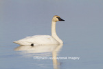 00758-01016 Trumpeter Swan (Cygnus buccinator) in wetland, Marion Co., IL