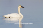 00758-01017 Trumpeter Swan (Cygnus buccinator) in wetland, Marion Co., IL
