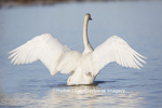 00758-01018 Trumpeter Swan (Cygnus buccinator) flapping wings in wetland, Marion Co., IL