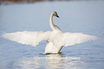 00758-01101 Trumpeter Swan (Cygnus buccinator) flapping wings in wetland, Marion Co., IL