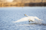 00758-01103 Trumpeter Swan (Cygnus buccinator) flying from wetland, Marion Co., IL