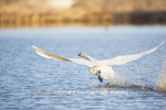00758-01104 Trumpeter Swan (Cygnus buccinator) flying from wetland, Marion Co., IL
