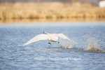 00758-01106 Trumpeter Swan (Cygnus buccinator) flying from wetland, Marion Co., IL