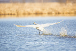00758-01107 Trumpeter Swan (Cygnus buccinator) flying from wetland, Marion Co., IL