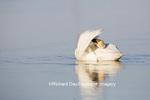 00758-01110 Trumpeter Swan (Cygnus buccinator) preening in wetland, Marion Co., IL