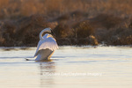 00758-01112 Trumpeter Swan (Cygnus buccinator) flapping wings in wetland, Marion Co., IL
