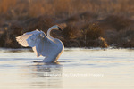 00758-01114 Trumpeter Swan (Cygnus buccinator) flapping wings in wetland, Marion Co., IL