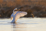00758-01115 Trumpeter Swan (Cygnus buccinator) flapping wings in wetland, Marion Co., IL