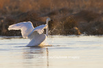 00758-01116 Trumpeter Swan (Cygnus buccinator) flapping wings in wetland, Marion Co., IL