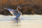 00758-01117 Trumpeter Swan (Cygnus buccinator) flapping wings in wetland, Marion Co., IL