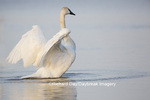 00758-01120 Trumpeter Swan (Cygnus buccinator) flapping wings in wetland, Marion Co., IL