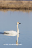00758-01204 Trumpeter Swan (Cygnus buccinator) in wetland, Marion Co., IL