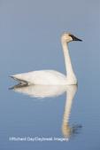 00758-01205 Trumpeter Swan (Cygnus buccinator) in wetland, Marion Co., IL
