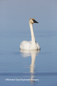 00758-01206 Trumpeter Swan (Cygnus buccinator) in wetland, Marion Co., IL