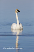 00758-01207 Trumpeter Swan (Cygnus buccinator) in wetland, Marion Co., IL