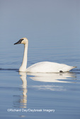 00758-01208 Trumpeter Swan (Cygnus buccinator) in wetland, Marion Co., IL