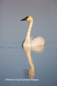 00758-01209 Trumpeter Swan (Cygnus buccinator) in wetland, Marion Co., IL