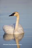 00758-01210 Trumpeter Swan (Cygnus buccinator) in wetland, Marion Co., IL