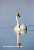 00758-01211 Trumpeter Swan (Cygnus buccinator) in wetland, Marion Co., IL