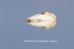 00758-01212 Trumpeter Swan (Cygnus buccinator) resting in wetland, Marion Co., IL