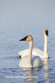 00758-01213 Trumpeter Swans (Cygnus buccinator) in wetland, Marion Co., IL