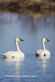00758-01214 Trumpeter Swans (Cygnus buccinator) in wetland, Marion Co., IL
